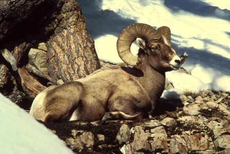 Rocky_mountain_bighorn_sheep_ram_male_buck_animal